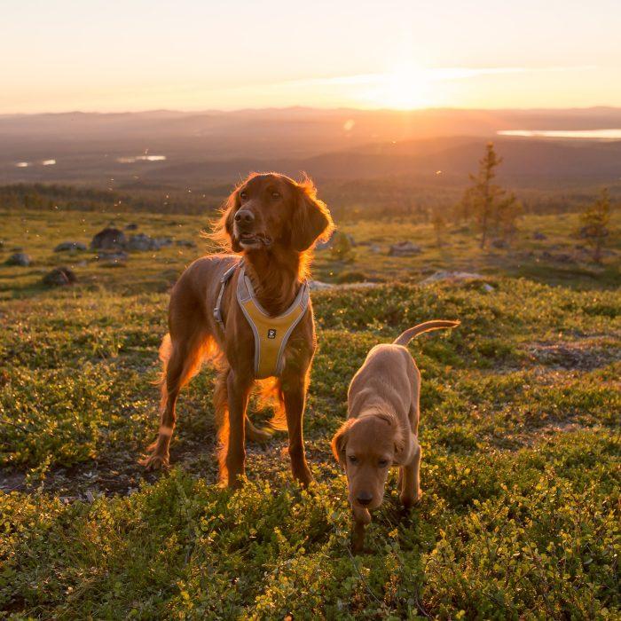 Hurtta adventure dog harness orange sun