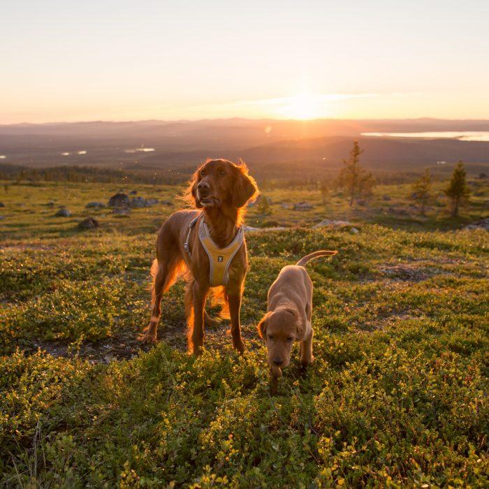 Hurtta adventure dog harness orange sun two dogs in sunset